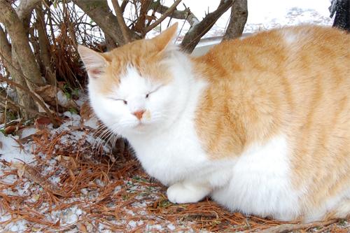 地域猫-冬
