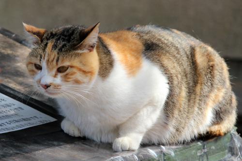 地域猫-母