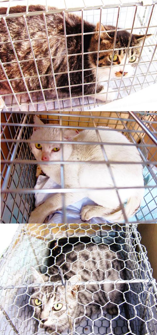 猫の不妊のための手術、捕獲写真1