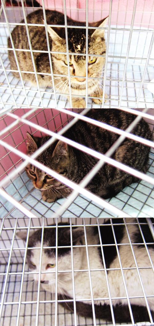 猫の不妊のための手術、捕獲写真2