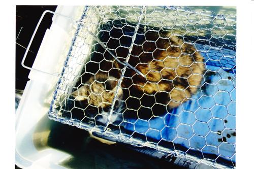 TNR活動、捕獲猫写真3