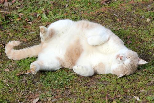 ネコと動物愛護チャリティーカレンダー2013 11月