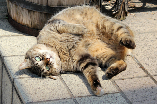 ネコと動物愛護チャリティーカレンダー2013 5月