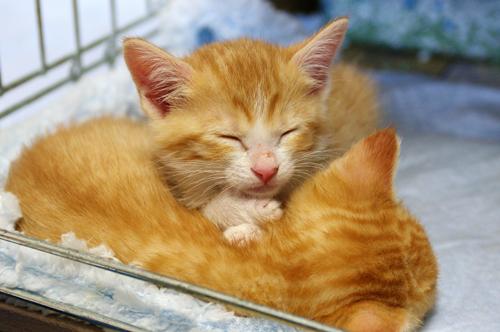 ネコと動物愛護チャリティーカレンダー2013 6月