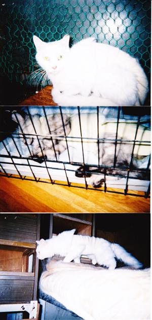 不妊化手術猫3