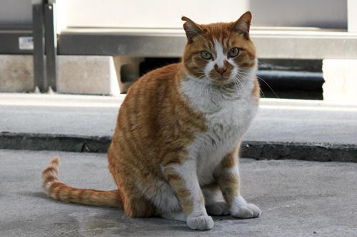 耳先カット猫3