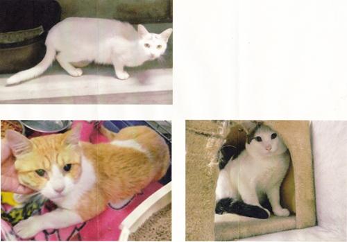 猫の不妊化手術1