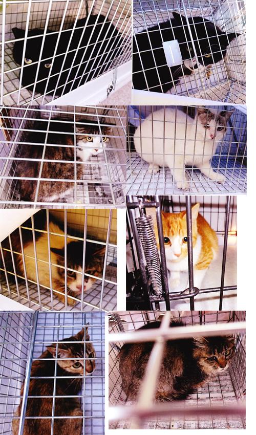 猫の不妊化手術8匹