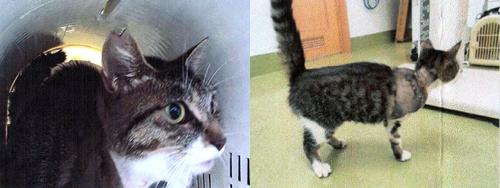 置き去り猫、不妊化手術と怪我の治療写真