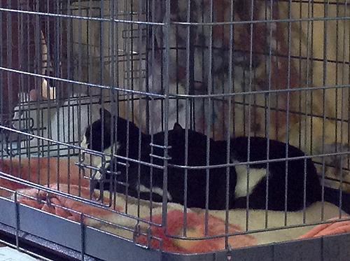 保護犬猫譲渡会、猫2
