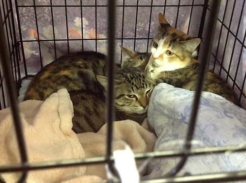 ネコと動物愛護、保護猫キジ三毛きょうだい