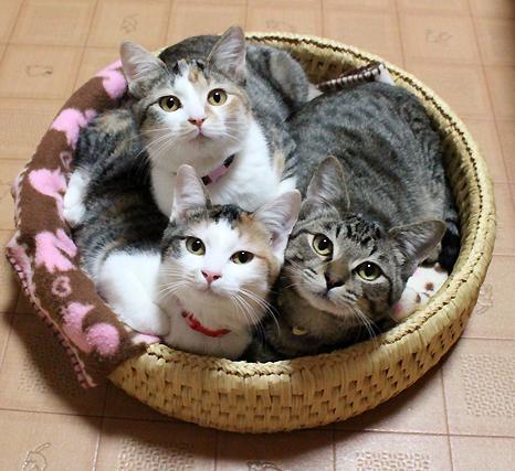 キジトラ、三毛猫、子猫の里親募集中