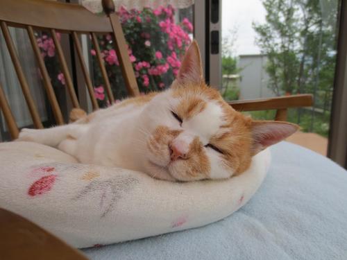 ネコと動物愛護チャリティーカレンダー2018、6月の3