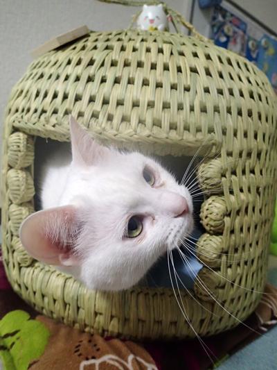 猫つぐら(猫ちぐら)お客さまより 猫のゆきちゃん2