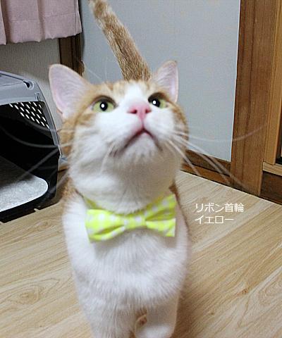 おしゃれリボン首輪 イエロー 猫のをちび装着