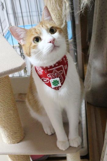 おしゃれ首輪2リバーシブルバンダナ 猫の装着例