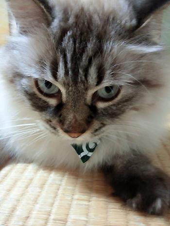 おしゃれバンダナ首輪唐草模様グリーン、猫ちゃんよりお写真1