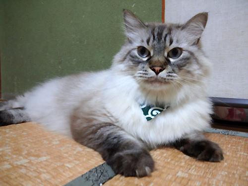 おしゃれバンダナ首輪唐草模様グリーン、猫ちゃんよりお写真2