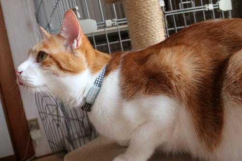 ネームホルダー、猫の首輪用迷子札、装着例