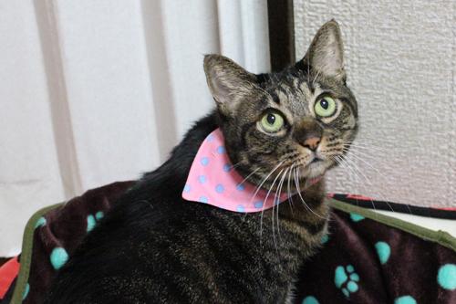 おしゃれバンダナ首輪、装着例猫