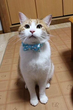 おしゃれリボン首輪を着けた猫