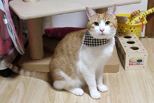 猫のおしゃれ首輪2リバーシブルバンダナ、装着例