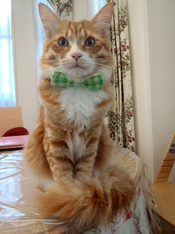 おしゃれリボン首輪、猫のチーズちゃんより