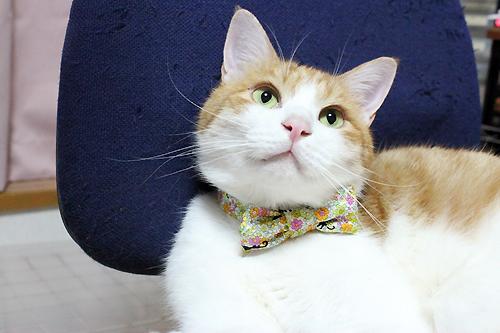 おしゃれリボン首輪、花園の猫イエロー(をちび店員)