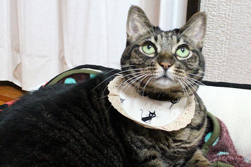 猫と音符アイボリー×ツリーレッド、ベージュレース、店長ちゃあ1