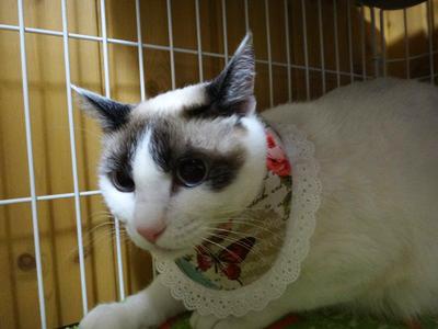 猫のおしゃれ首輪2リバーシブルバンダナフリフリレース、蝶と薔薇B