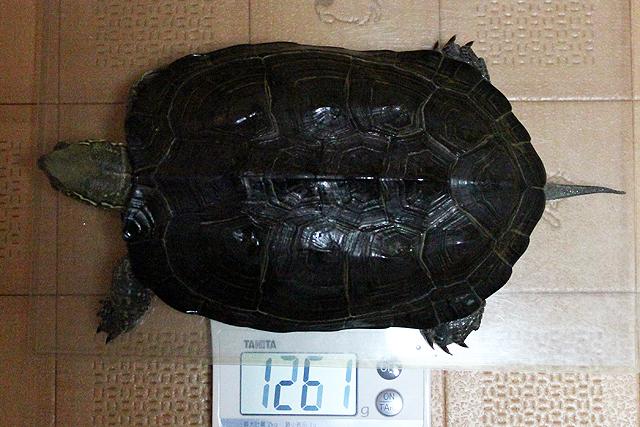 かめき千代 体重:1261g