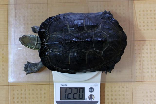 かめき千代 体重:1220g