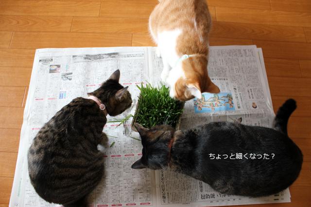 久々の猫草♪