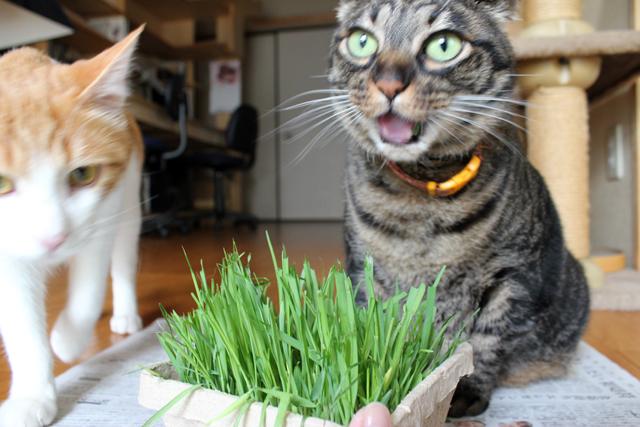 猫草食べながらビックリしてる?