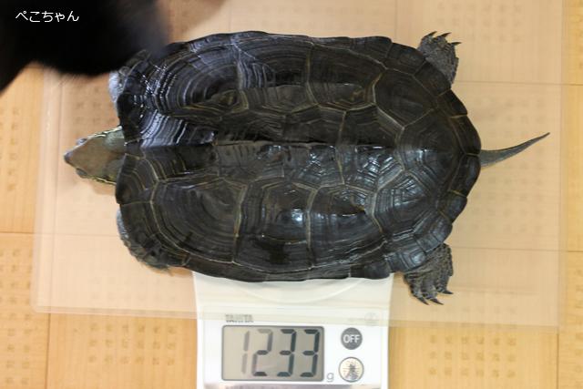 かめき千代 体重:1233g