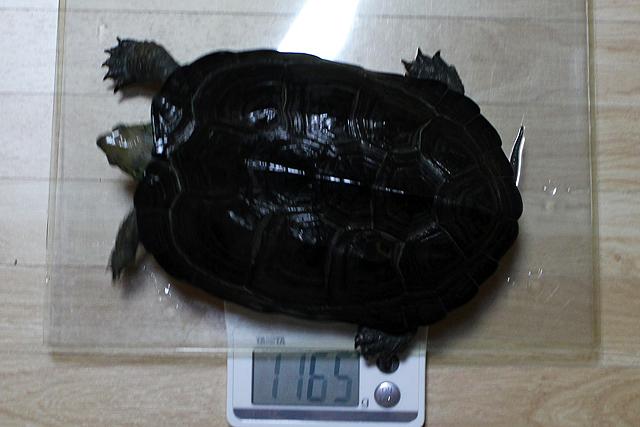 かめき千代 体重:1165g