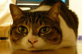 行方不明猫 探しています!