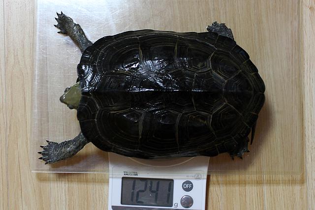 かめき千代 体重:1241g