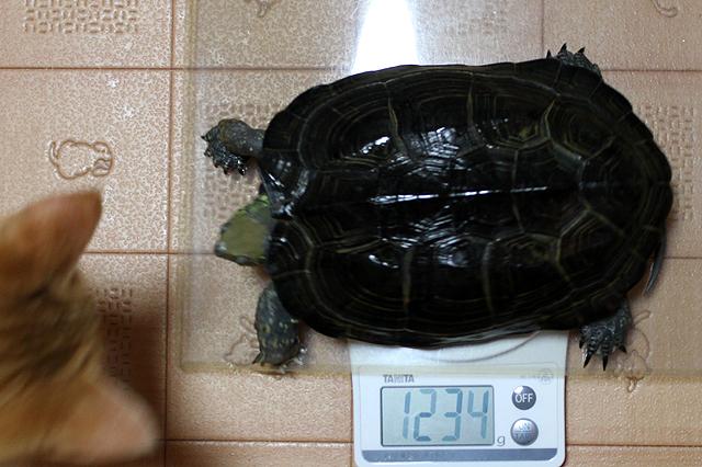 かめき千代 体重:1234g