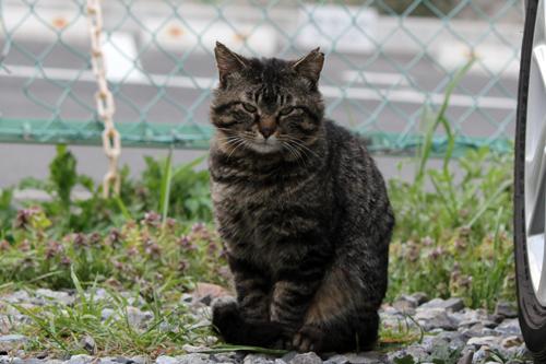 耳先カット猫