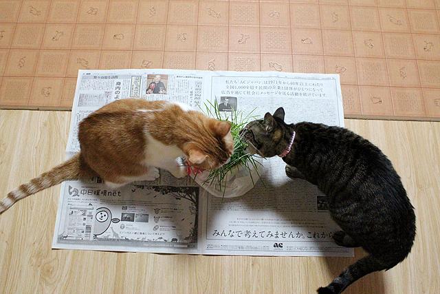猫草大好き♪