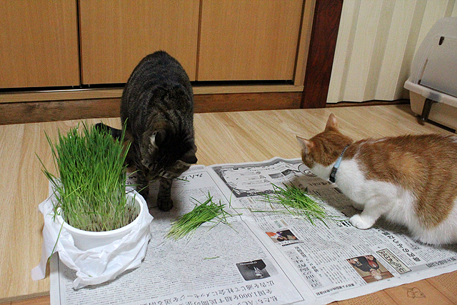 すっごい長い猫草~