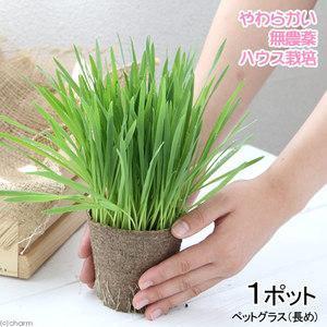 猫草 150円