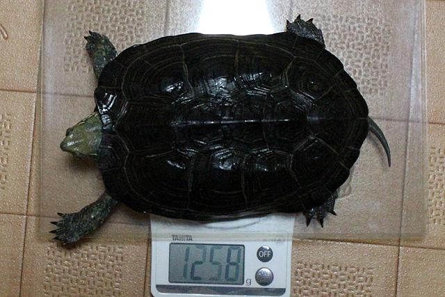 かめき千代 体重:1258g