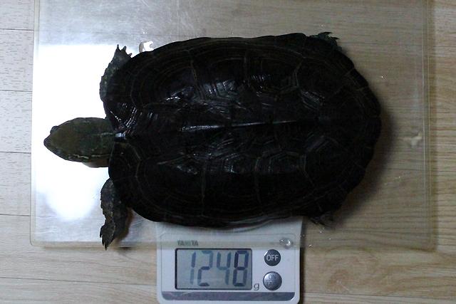 かめき千代 体重:1248g