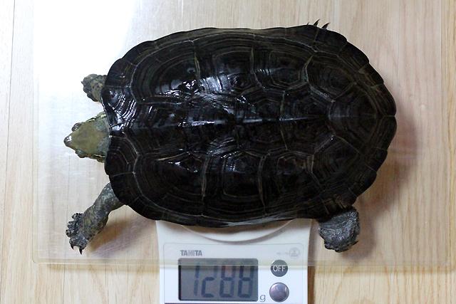 かめき千代 体重:1288g