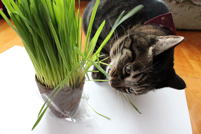 猫草上手に?