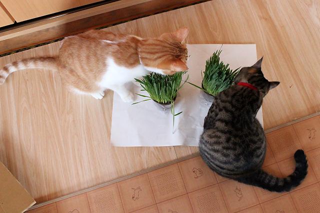 猫草どうぞ!