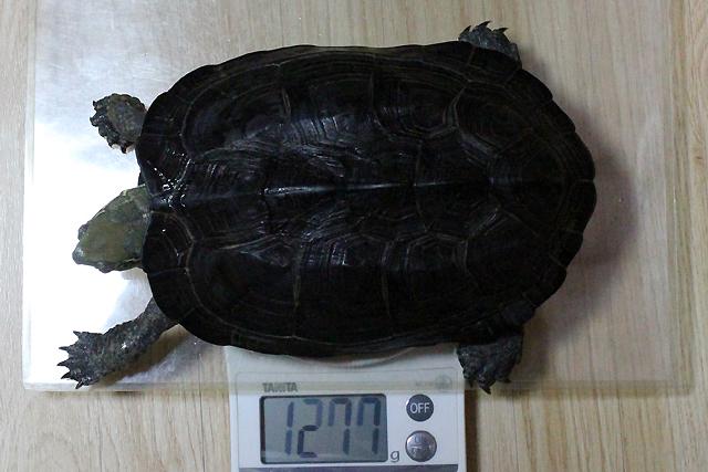 かめき千代 体重:1277g