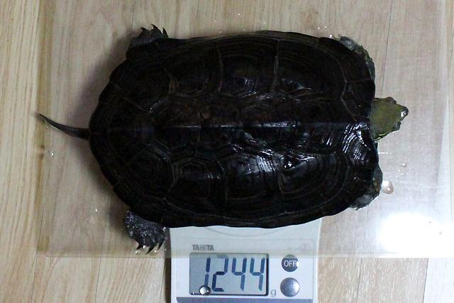 かめき千代 体重:1244g